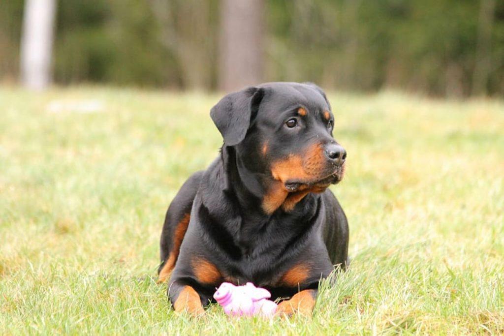 razas de perros mas obedientes