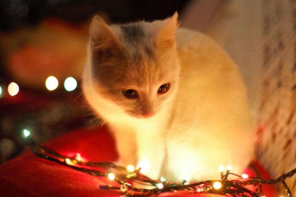 la planta de navidad es toxica para los gatos