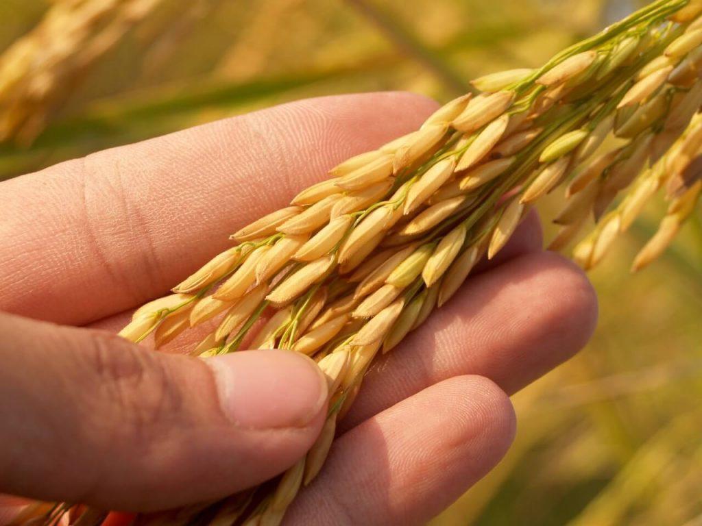 mitos sobre el trigo
